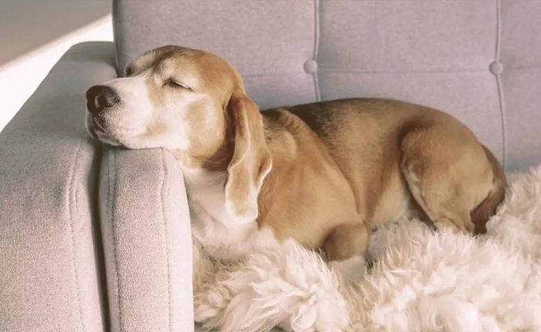 dog relaxing in sofa