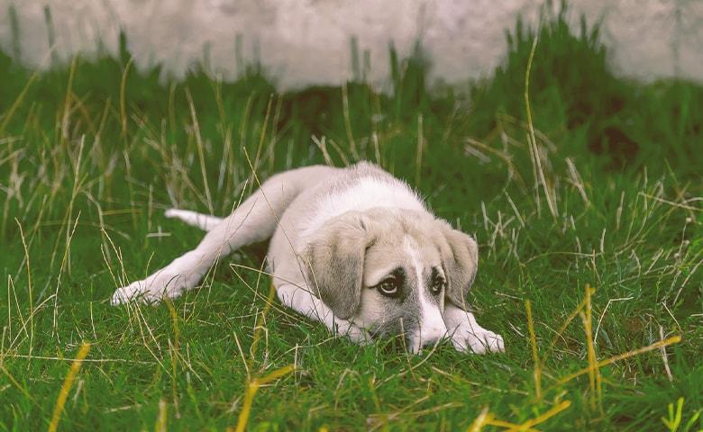 dog sad laying down on the grass