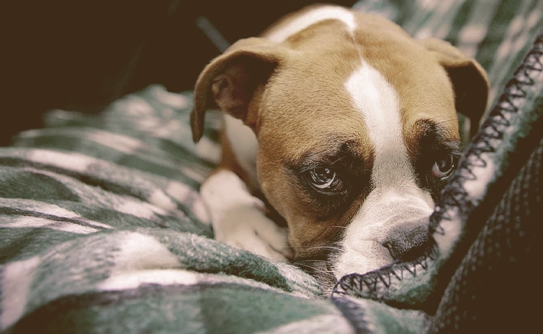 dog suffering