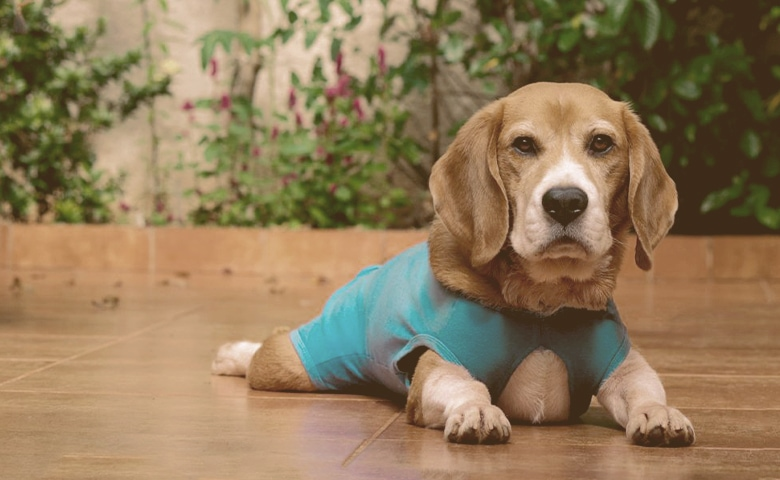 dog wearing a after surgery outfit laying on the floor
