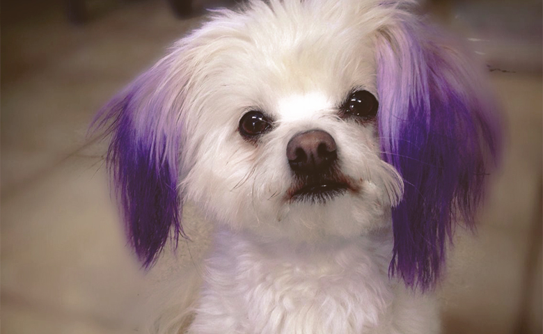 dog with puple color ears