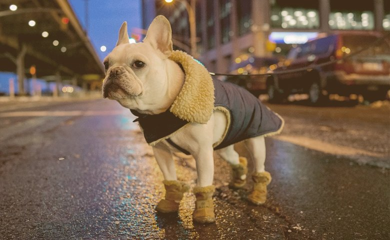 french bulldog wearing Booties on the street