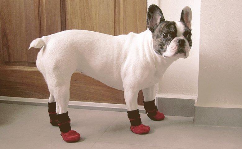 french bulldog wearing Booties