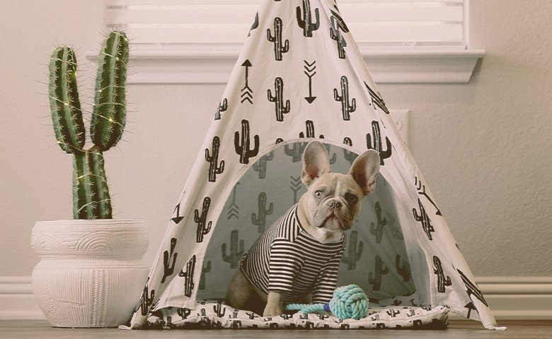 french bulldog wearing clothes in a tent