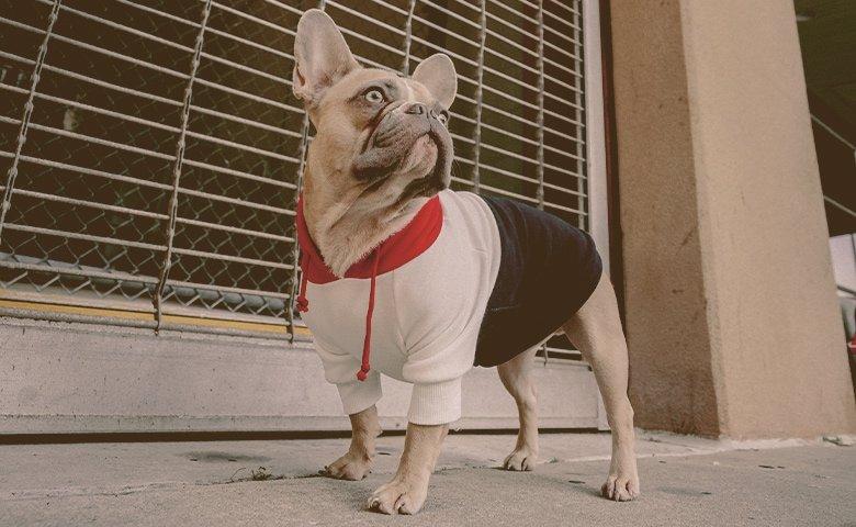 french bulldog wearing hoodie looking up