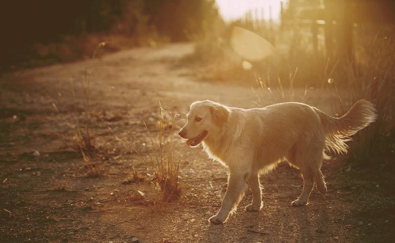 golden retrivier walking on the sunset