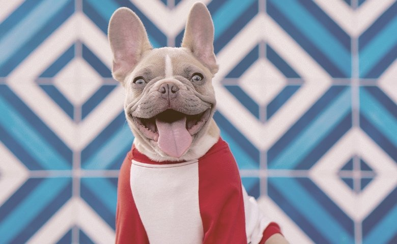 happy french bulldog wearing clothes