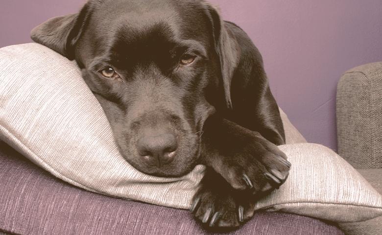labrador dog lying on pillows