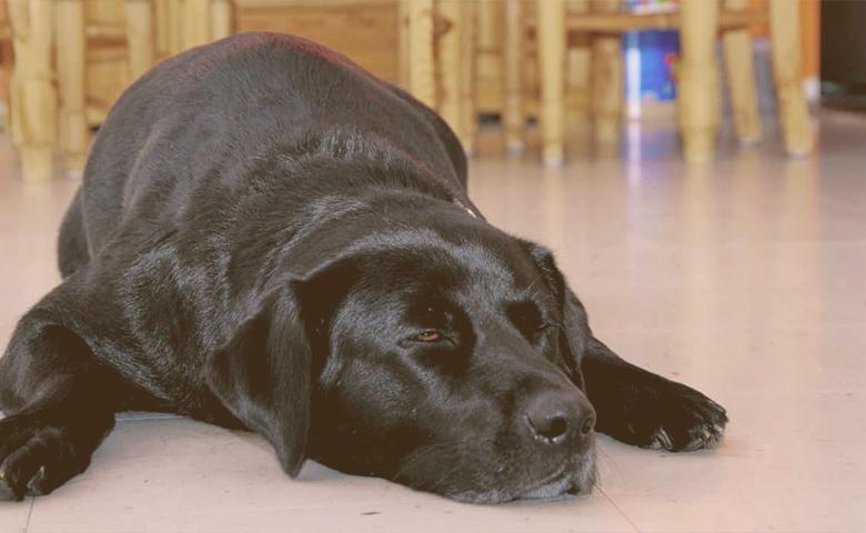 old dog cooling in ceramic floor