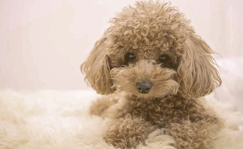 poodle on bed
