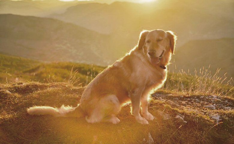 Golden Retriever looking at the montain