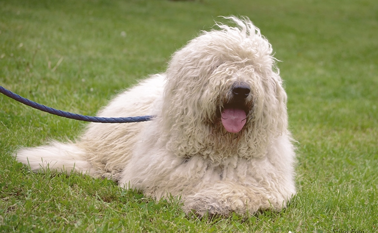 Komondor dog laying on the grass