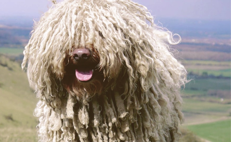 Komondor dog looking