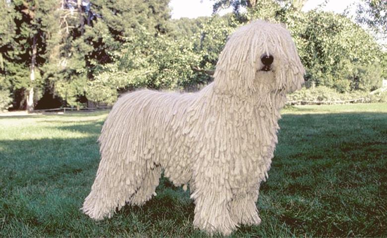 Komondor dog on the grass