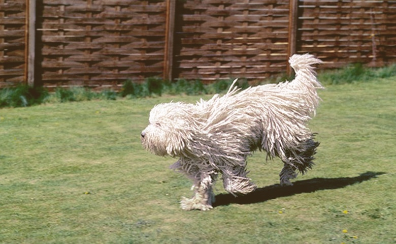 Komondor dog running