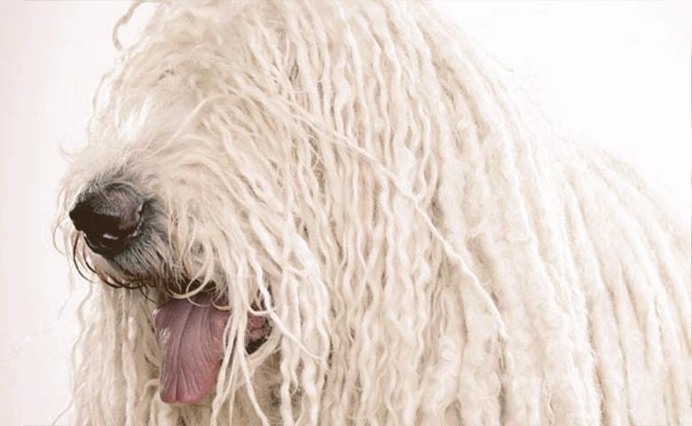Komondor dog tongue out