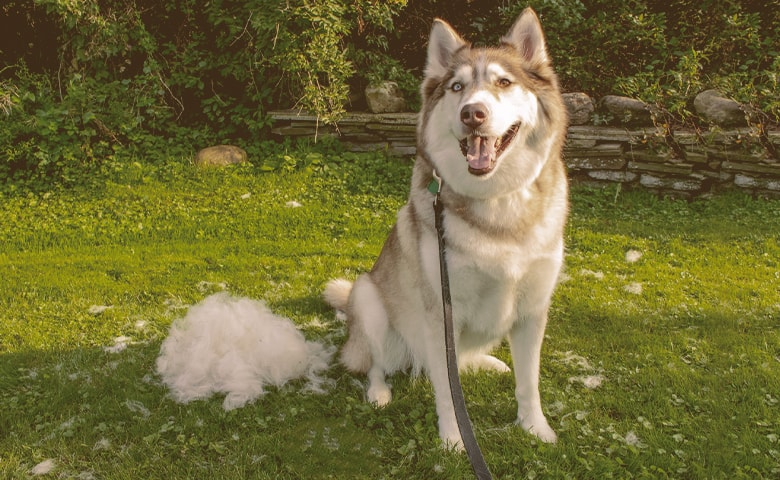 husky looking after being brushed
