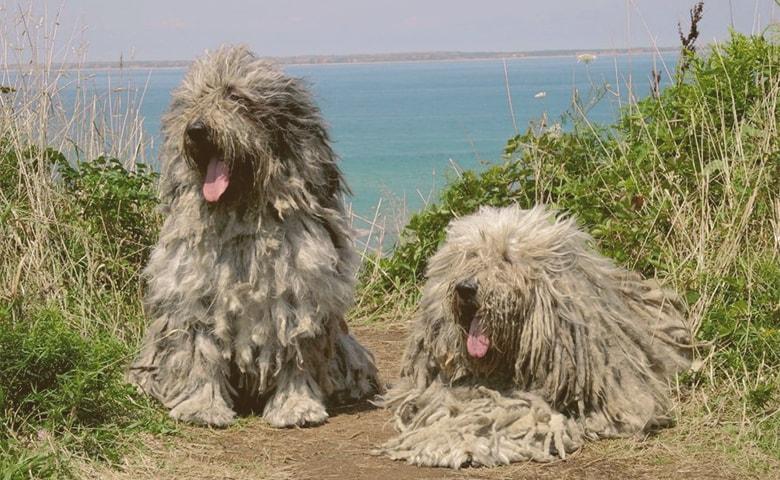 two Komondor dogs looking