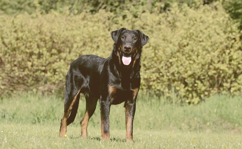 Beauceron dog on the grass looking