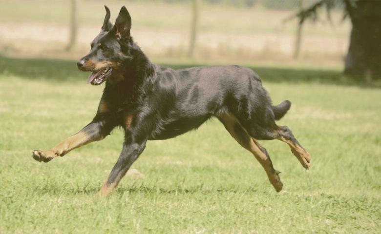 Beauceron dog running on the grass