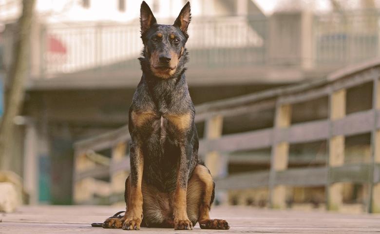 Beauceron dog sitting