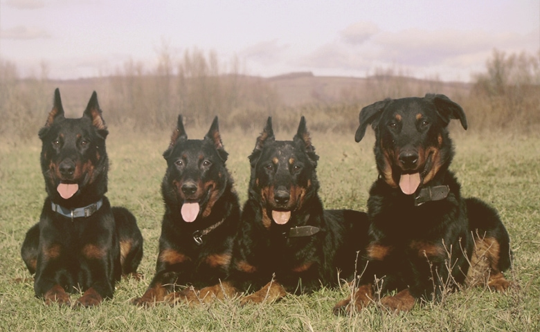 Beauceron dogs laying on the grass