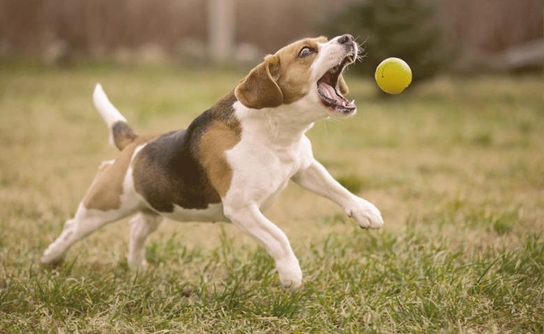 Dog Fetching a ball