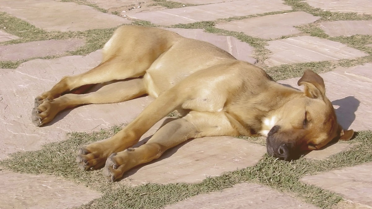 Dog suffering from heat exhaustion