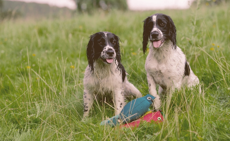 Spaniels on the grass