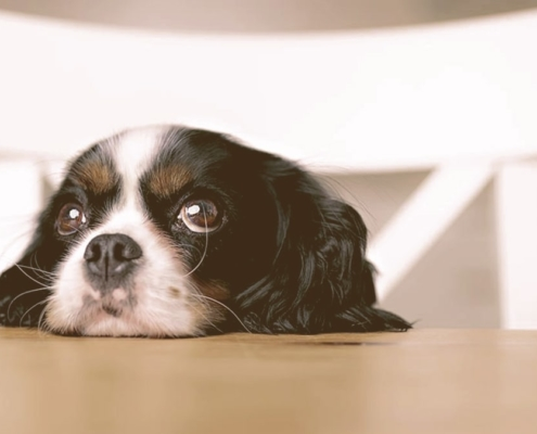 puppy looking with head on the table