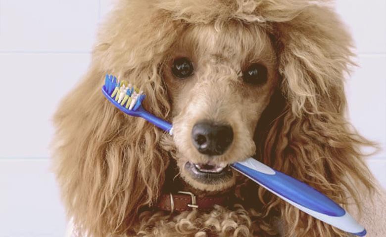 dog holding a brush