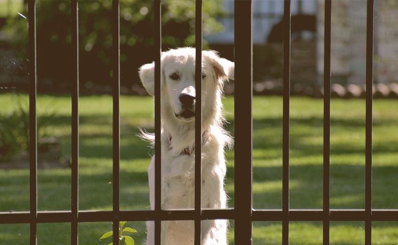 dog looking through a Fence