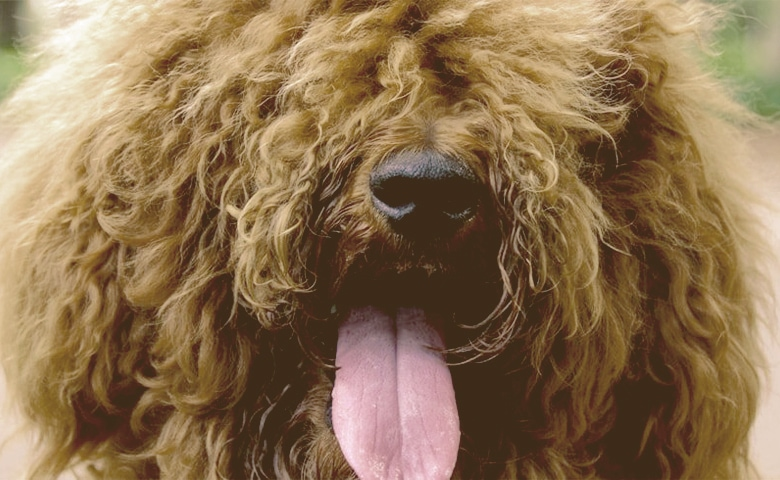 fluffy brown dog panting