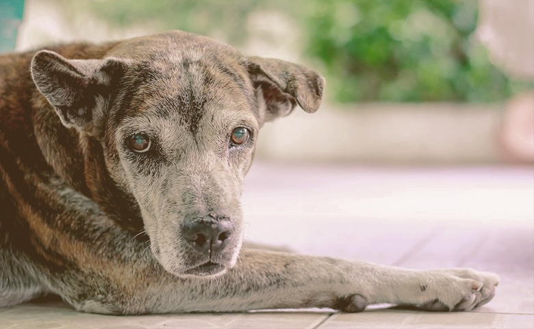 older dog laying down