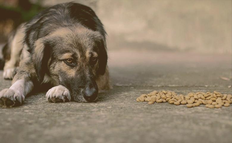 older dog looking at food