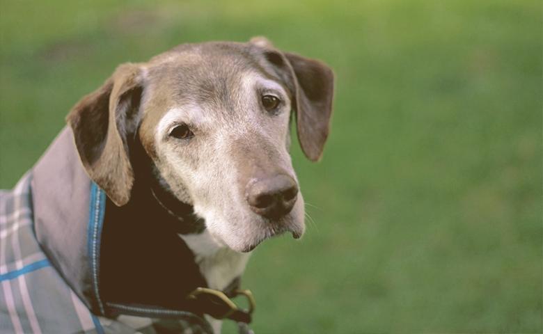 older dog looking