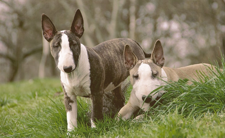 Bull Terrier together outdoors