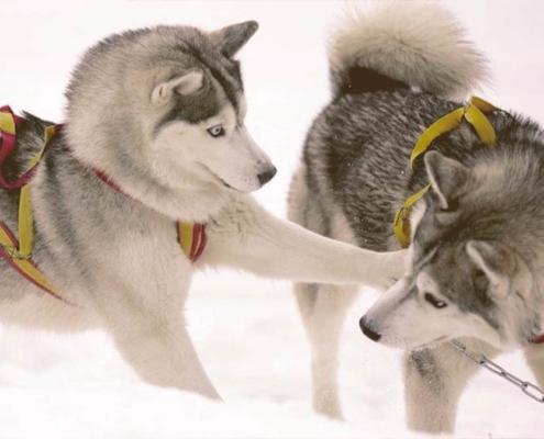 Siberian Huskie playing