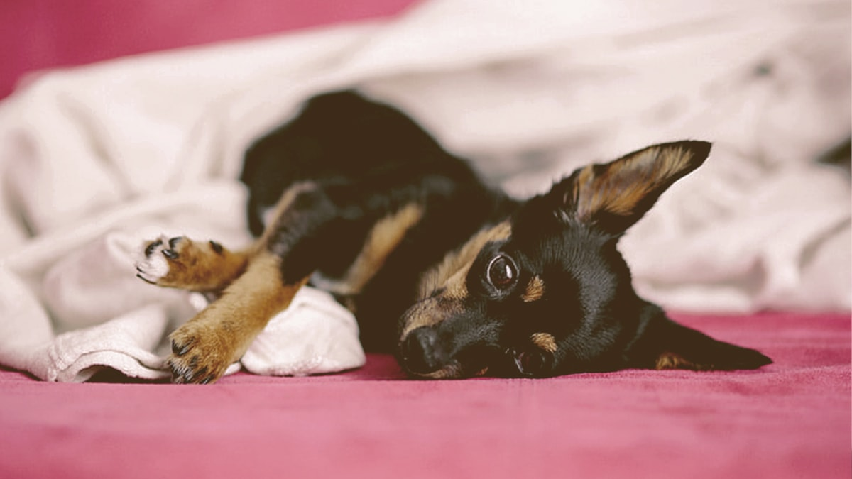 Dog laying down on the bed