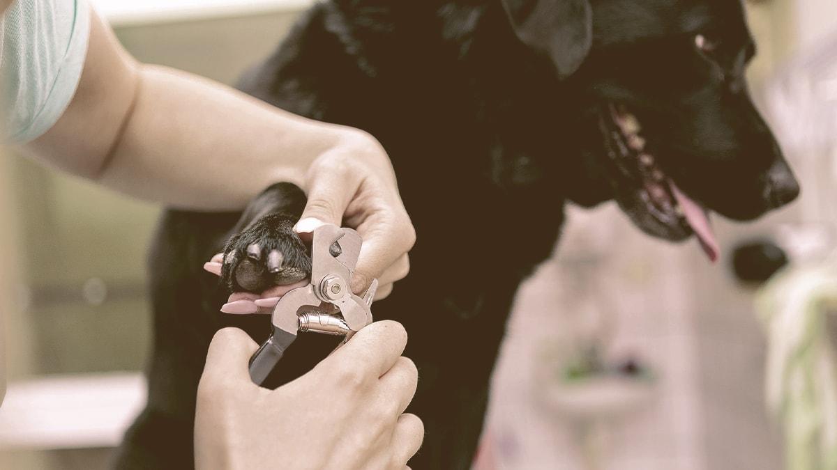 dog nail clipping