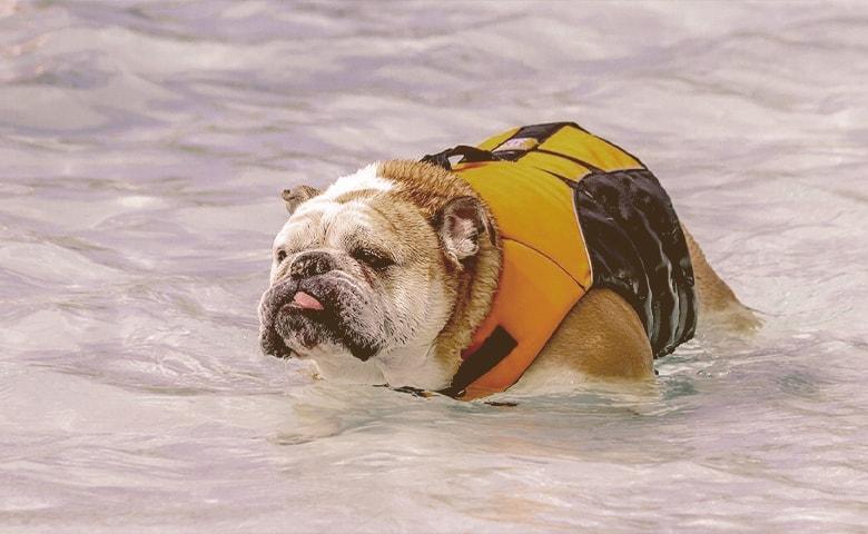 bulldog on the water