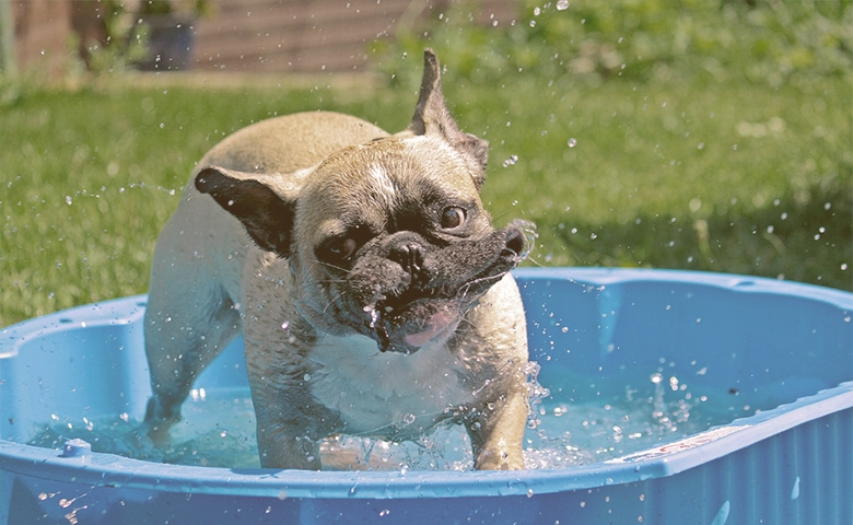 french bulldog on a small pool