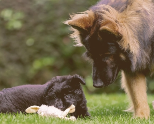 An adult dog playing with a puppy