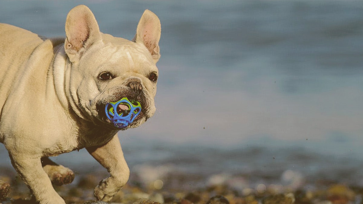 bulldog playing with toy