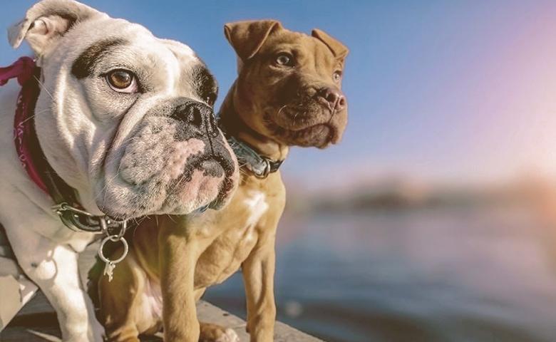 English Bulldog Pitbull Mixes.