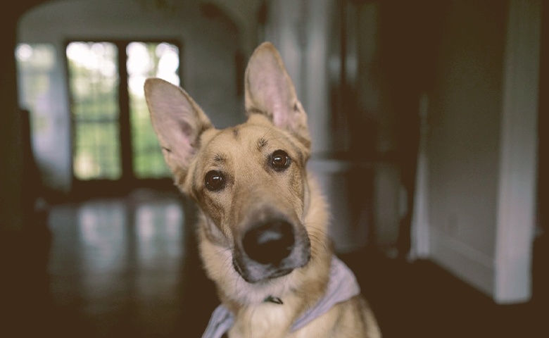 dog with ears up trying to listen