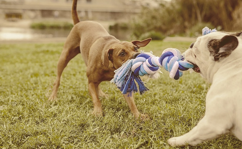 dogs sharing a toy