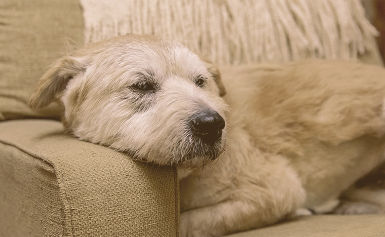 old dog laying on the sofa
