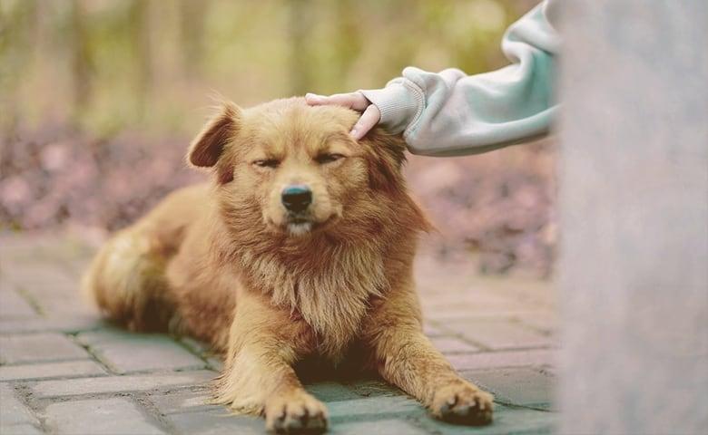 Human petting dog